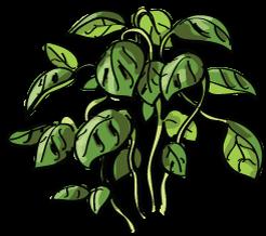 Herb Garden, Basil