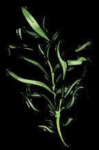 Herb Garden, Tarragon